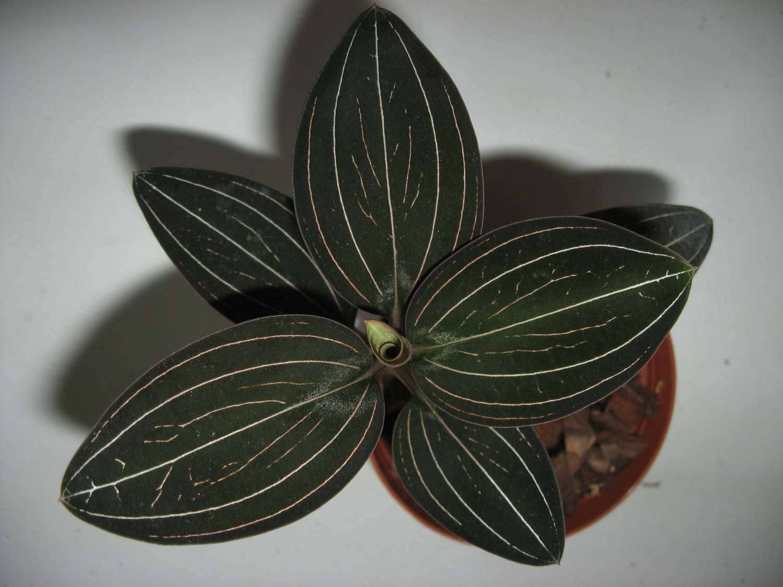 Орхидея лудизия уход 3